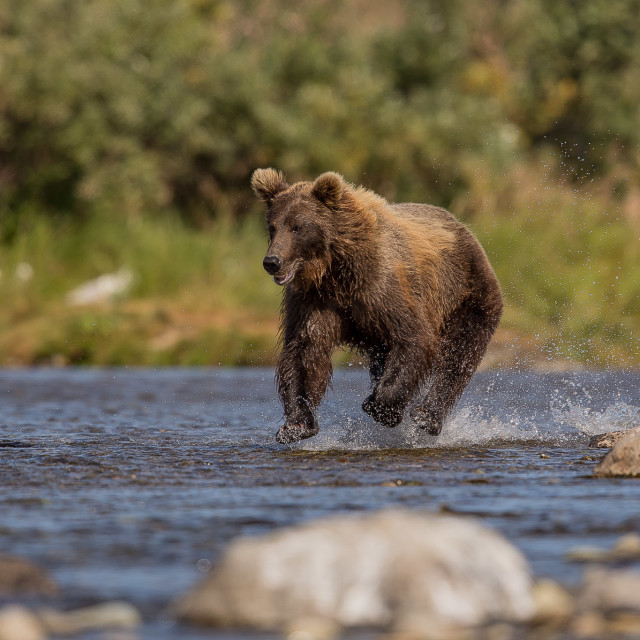 """""""brown bear - grizzly, fishing for salmon"""" stock image"""