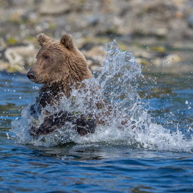 """""""Brown bear fishing"""" stock image"""