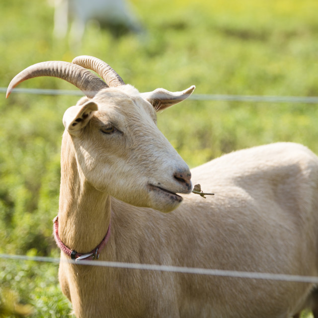 """Goat on Block Island Farm"" stock image"