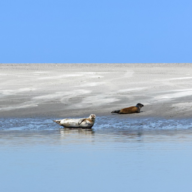 """""""Seals in the Somme Bay"""" stock image"""