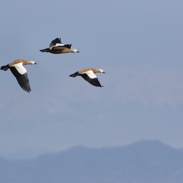"""Flock of Ruddy shell Duck flying"" stock image"