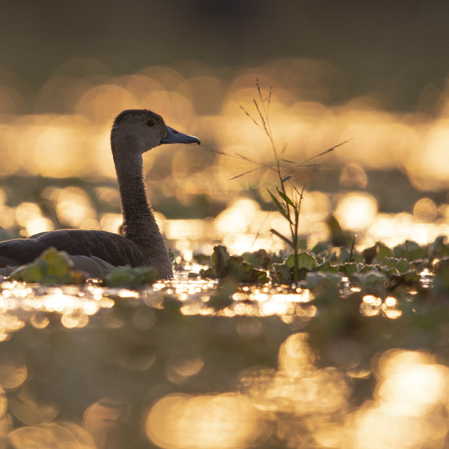"""Lesser whistling at sunrise in pond"" stock image"