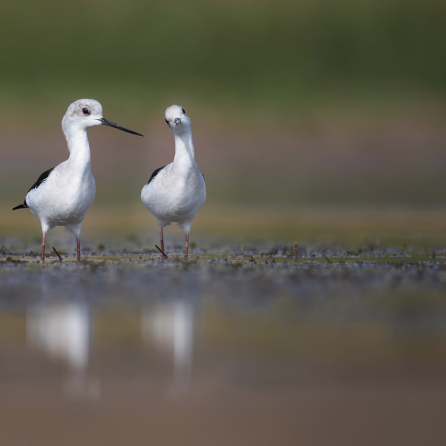 """Black winged Stilt"" stock image"