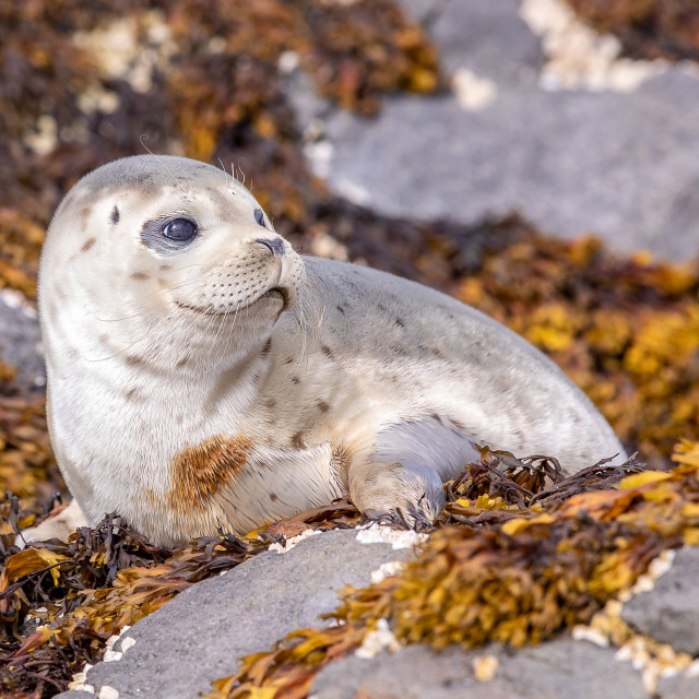 """harbour seal pup"" stock image"