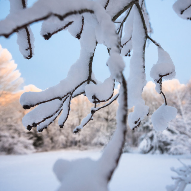 """Snowy Treetops at Sunset"" stock image"
