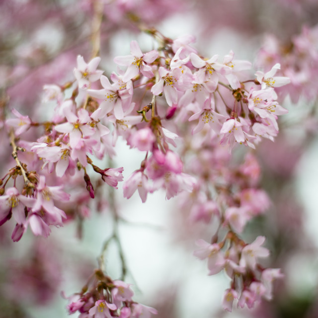 """Cherry Blossoms in Spring Rain"" stock image"