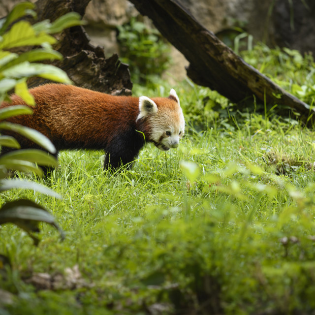 """Red panda in nature"" stock image"