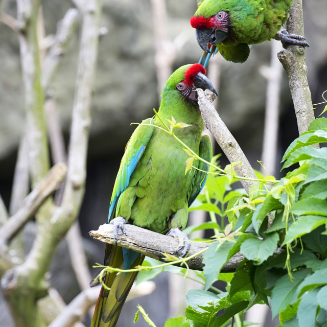 """Green parrots on a tree"" stock image"