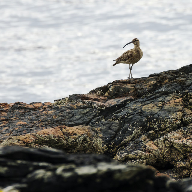 """Whimbrel posing on rocky shore"" stock image"