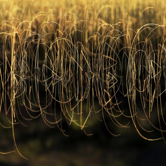 """""""Reeds reflection"""" stock image"""