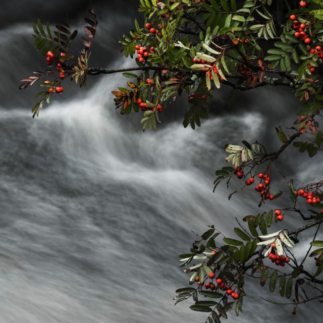 """""""Rowan tree, berries and stream"""" stock image"""