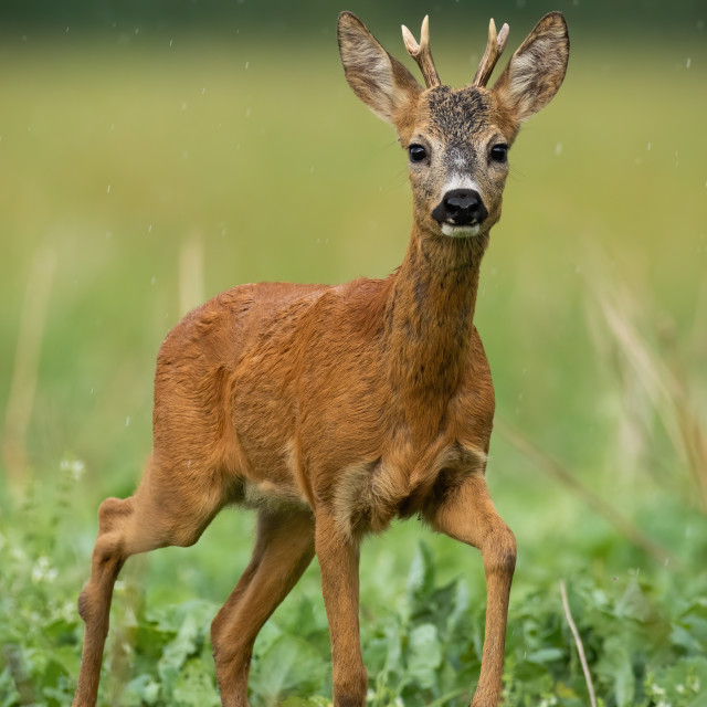 """A solitary young roe deer buck standing on the grassland"" stock image"