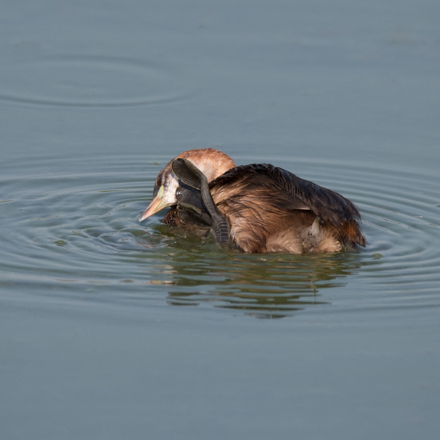 """""""A little grebe cleans the plumage with the palmate paw"""" stock image"""