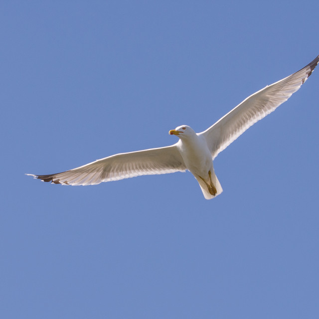 """""""A big seagull flies in the blue sky"""" stock image"""