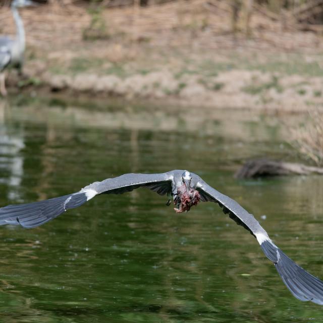 """A gray heron flies with food in its beak"" stock image"