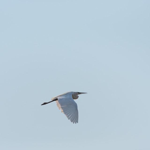 """A little egret, medium-sized white bird, flies in the blue sky o"" stock image"