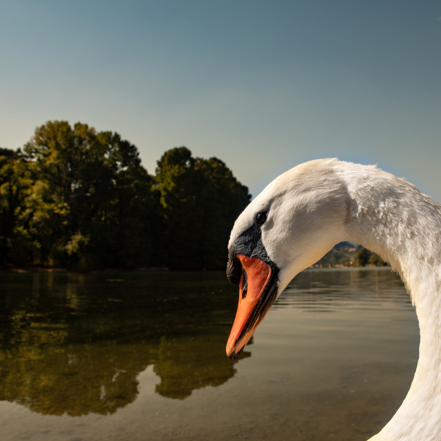 """""""close-up portrait of a larger white swan"""" stock image"""