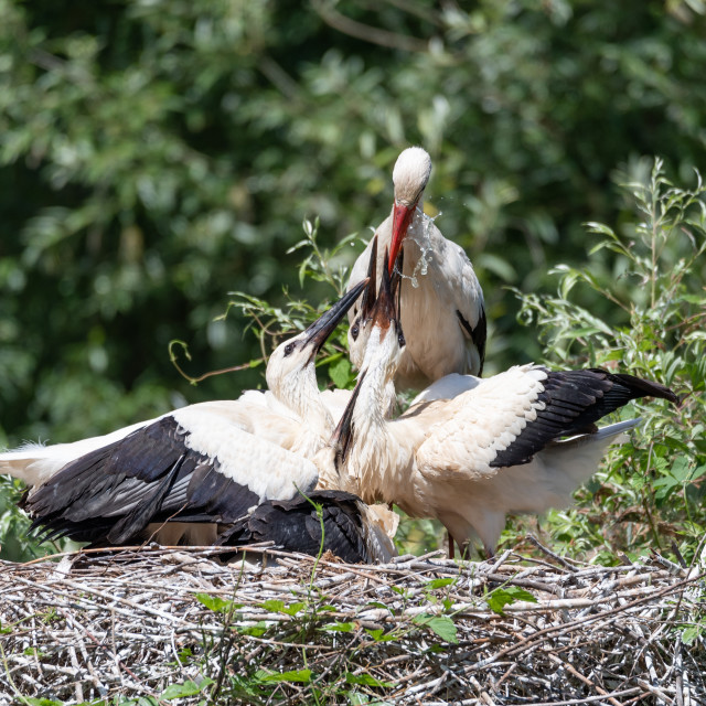 """""""A white stork watering its young in the nest"""" stock image"""