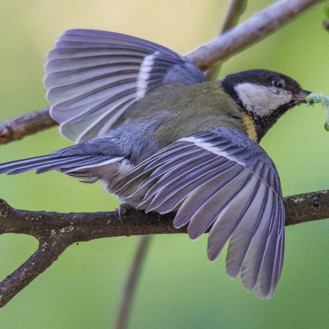 """""""a great tit holds a larva in its beak with open wings"""" stock image"""