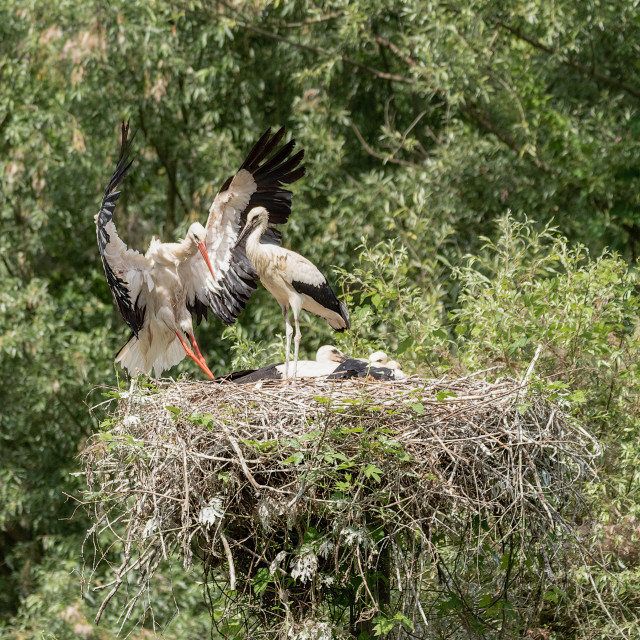 """""""A white stork in flight reaches the young waiting in the nest"""" stock image"""