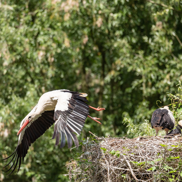 """""""A white stork flies away from the nest looking for food for its"""" stock image"""