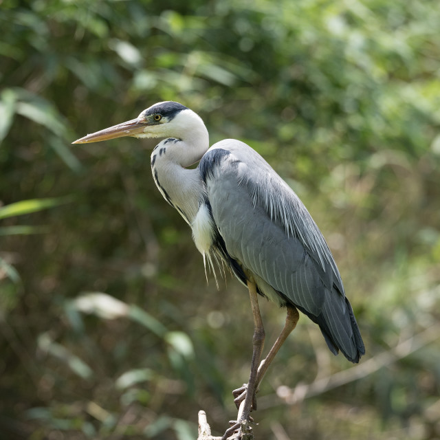 """Gray heron posing on a branch"" stock image"