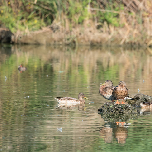 """""""Ducks laid on an islet in the pond"""" stock image"""