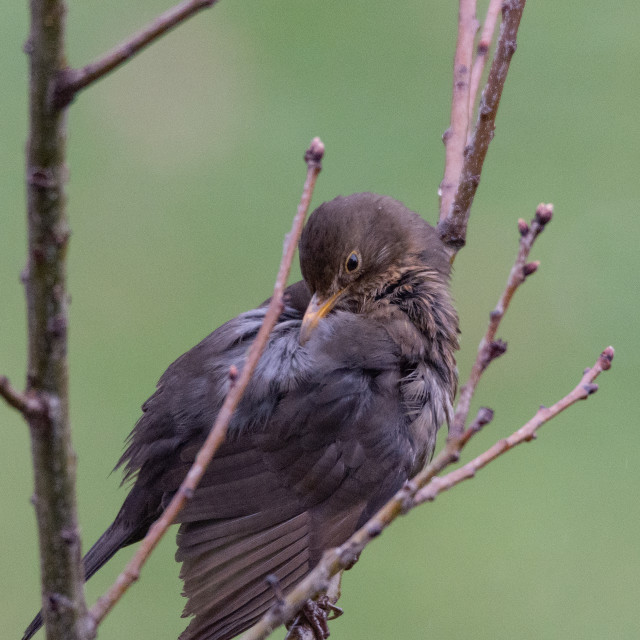 """""""Female Blackbird cleans the plumage on a tree"""" stock image"""