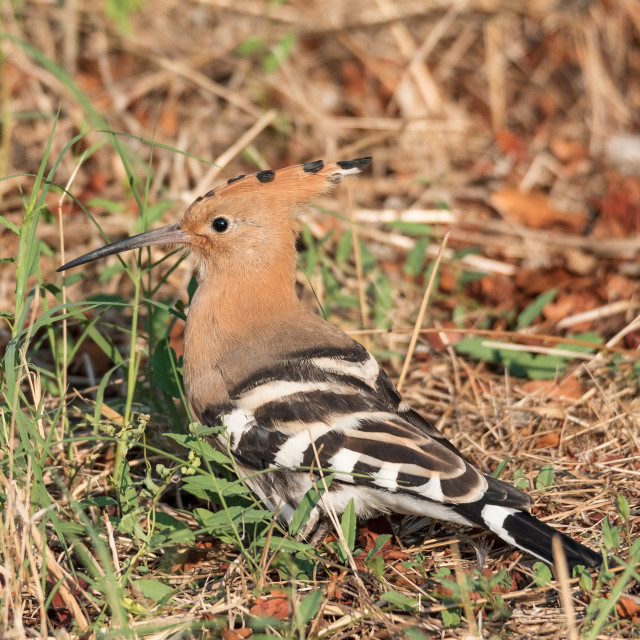 """""""Eurasian hoopoe posed in the grass of a meadow"""" stock image"""