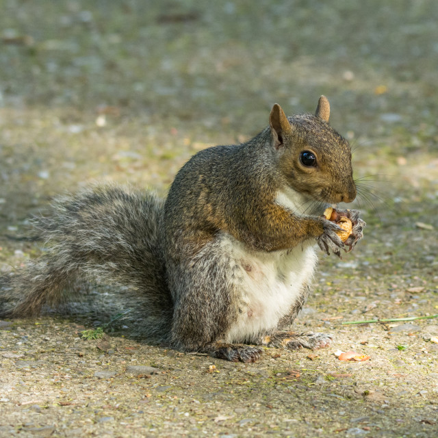 """""""gray squirrel in front of a tree eats a hazelnut holding it with"""" stock image"""