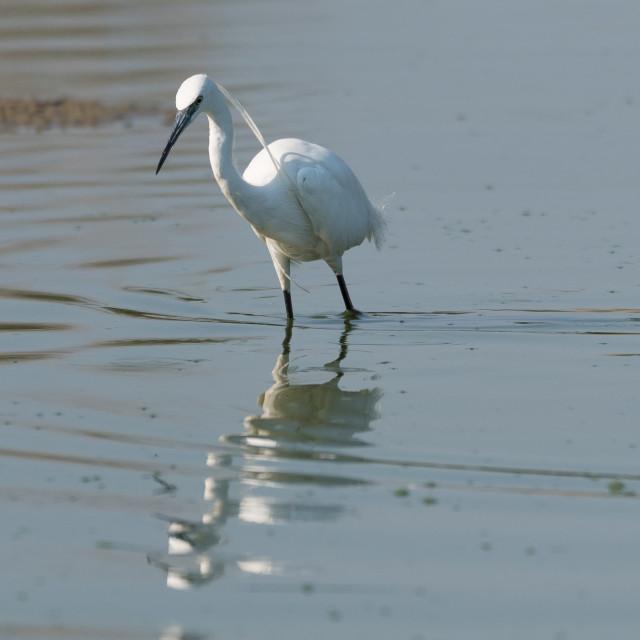 """Little egret, medium-sized white bird, walks in the lake water."" stock image"