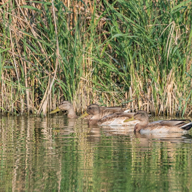 """""""Group of ducks (Mallards) swimming in the pond"""" stock image"""