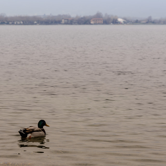 """""""Landscape with male duck in water"""" stock image"""