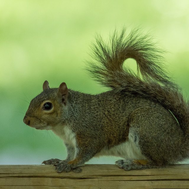 """""""Gray squirrel in profile on a wooden fence, rolled up tail"""" stock image"""