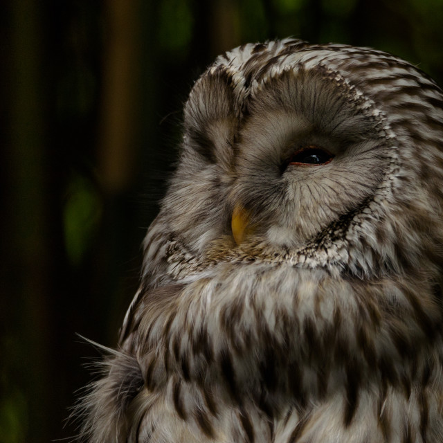 """""""Portrait of a tawny owl or brown owl at nightfall"""" stock image"""