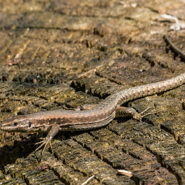 """""""Lizard with long tail"""" stock image"""