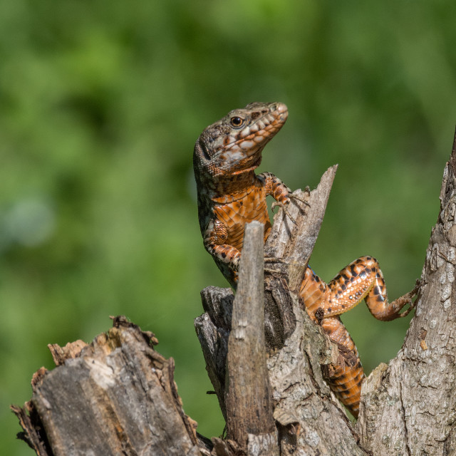 """""""Red lizard posing on a tree trunk"""" stock image"""