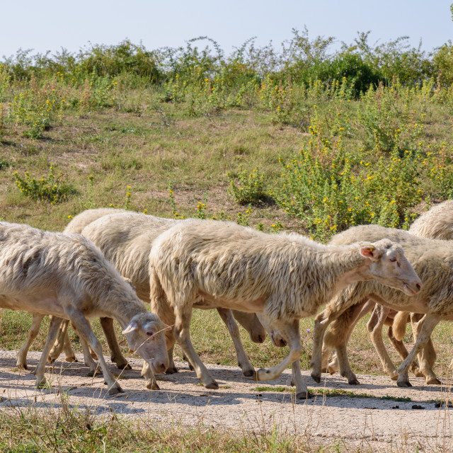 """""""Small flock of sheep grazes on a wide path"""" stock image"""