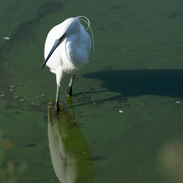 """""""The image of a Little Egret reflected in the water of a pond"""" stock image"""
