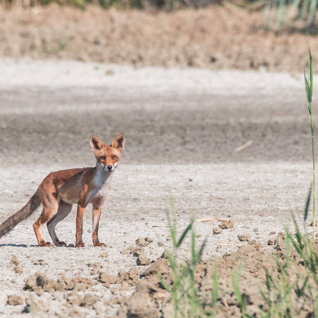 """""""Young fox walking in the plain realizes to be observed"""" stock image"""