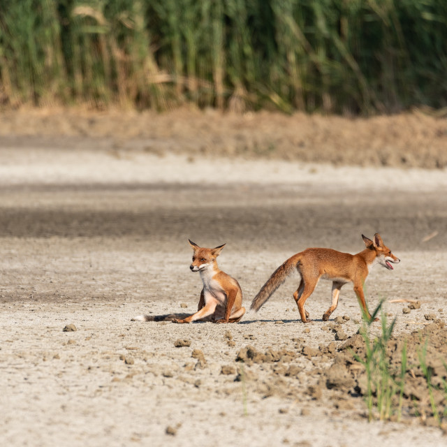 """""""Two young foxes, one sitting, turn in the plain on a sunny day"""" stock image"""