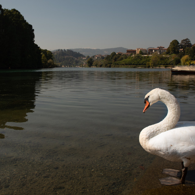 """""""White swan on the shore of a lake under a blue sky"""" stock image"""