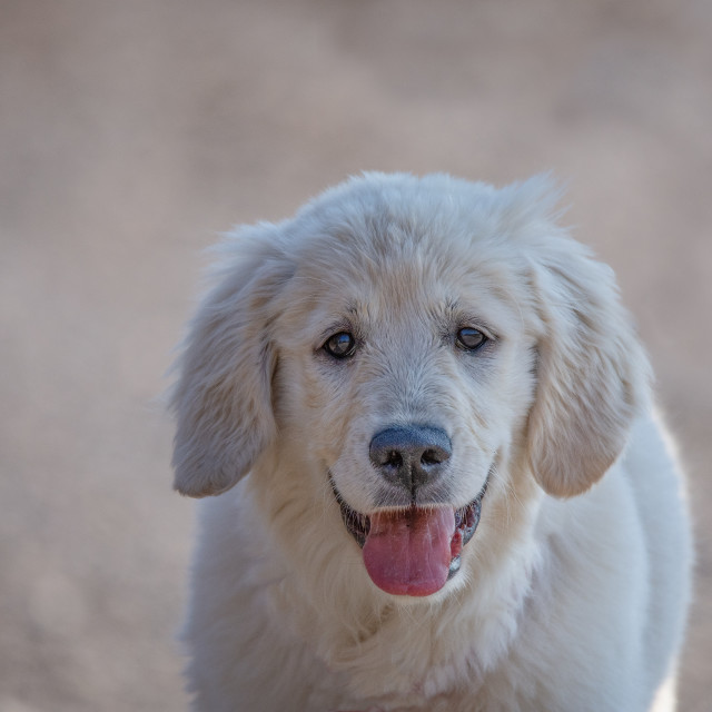 """""""Young Golden Retriever breed dog with light fur stares into your"""" stock image"""