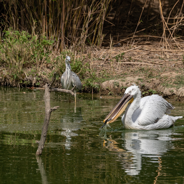 """""""A pelican eats a fish next to a gray heron in a pond"""" stock image"""