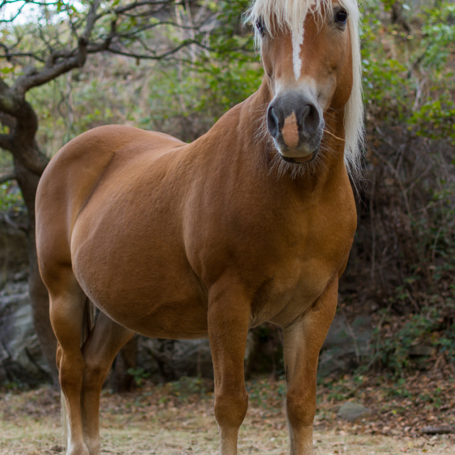 """""""Brown Horse With White Mane"""" stock image"""