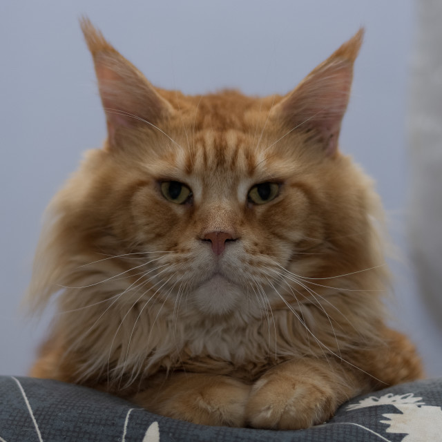 """""""Close-up portrait of Maine Coon breed cat, big adult red cat"""" stock image"""