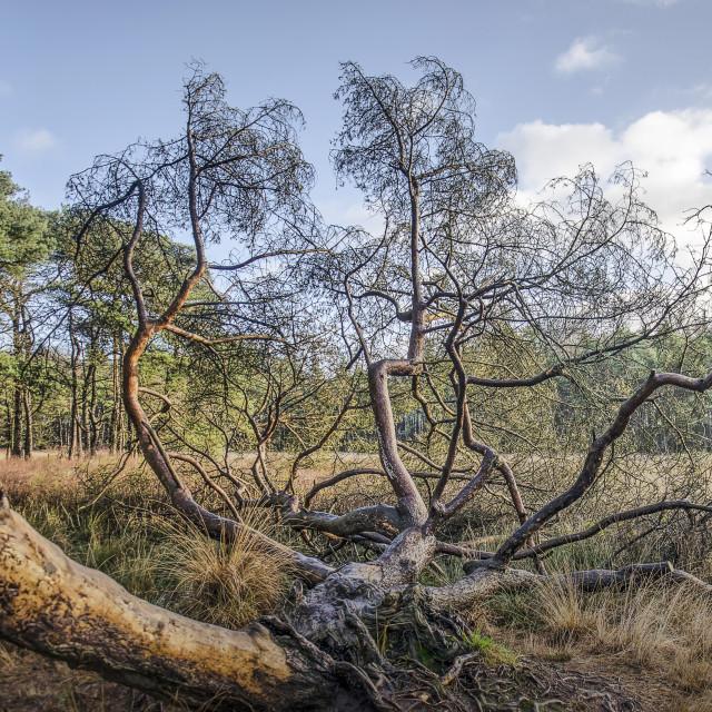 """""""Strangely shaped tree"""" stock image"""