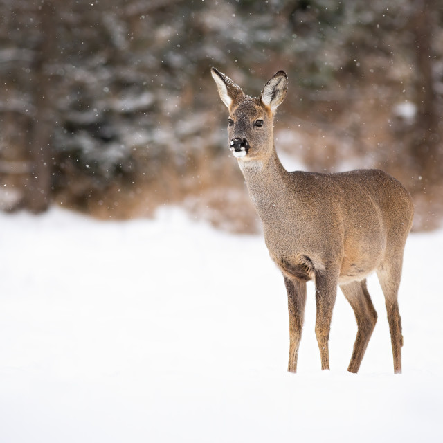 """Female of european roe dear standing in the snowy weather on the meadow"" stock image"