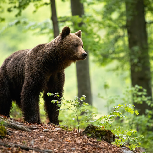 """""""Curious brown bear observing the surroundings of the beautiful blooming forest"""" stock image"""