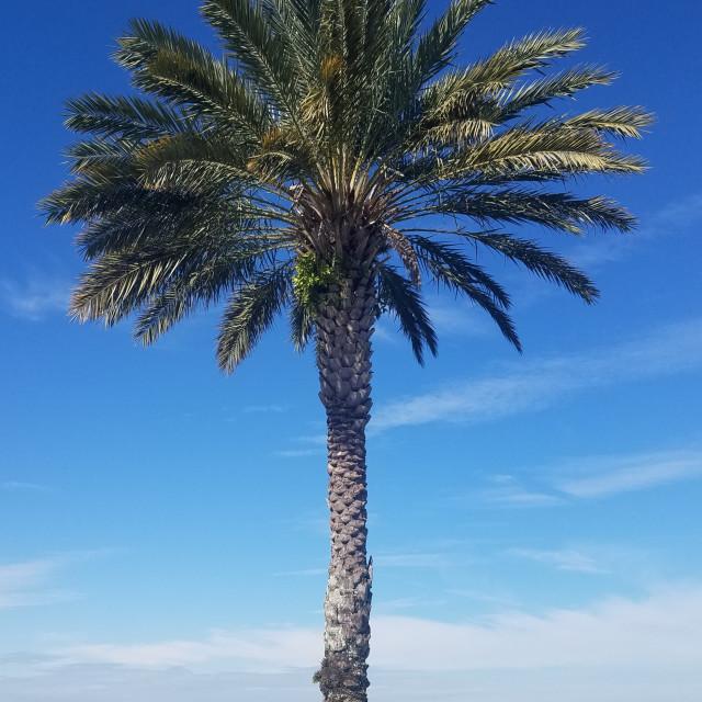 """Majestic palm tree"" stock image"